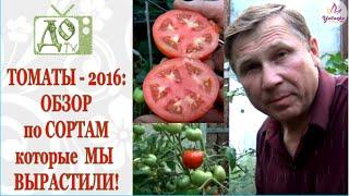 ТОМАТЫ / ПОМИДОРЫ - 2016 в теплице: СОРТА и ГИБРИДЫ в РЕАЛЬНОЙ ЖИЗНИ!(Какие сорта и гибриды помидор выросли в 2016 г Обзор выращенных томатов . Плоды томатов в разрезе.Спасибо..., 2016-08-02T13:32:57.000Z)