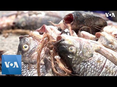Fish Farmers Aid Fishing Industry Recovery In Uganda