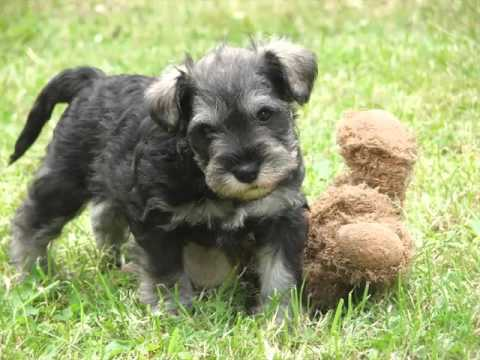 Dog Miniature Schnauzer Puppy  Dog Pictures Of Terrier Dogs And