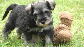 Dog Miniature Schnauzer Puppy | Dog Pictures Of Terrier Dogs And Puppy