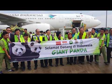 Garuda Indonesia - #WelcomingPanda Cai Tao & Hu Chun in Indonesia