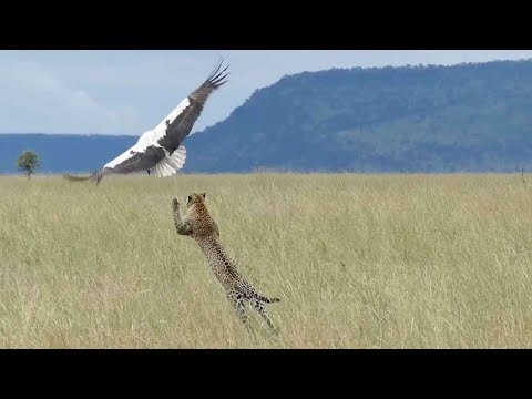 La milagrosa huida de una cigüeña de las garras de un leopardo