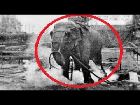 La Terrible Historia del Elefante electrocutado por Thomas edison