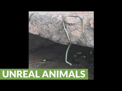 Tourist films rare  and strange snake behavior