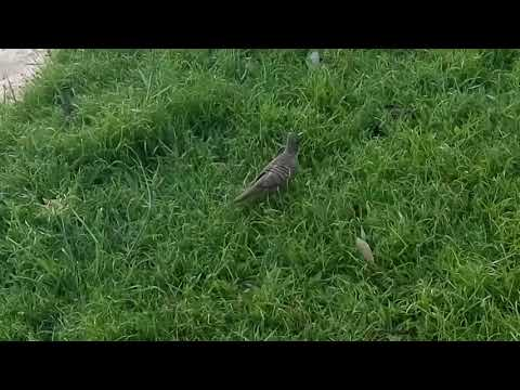 Zebra dove in East cost Singapore