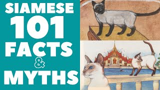 Siamese Cats 101 : Fun Facts & Myths