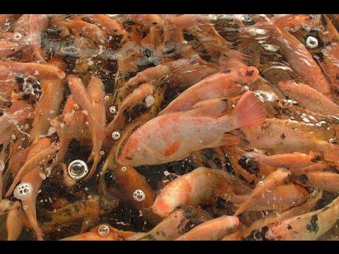 Producci n tecnificada de peces piscicultura tvagro for Vivero para peces