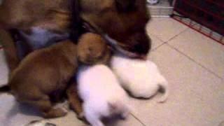 Cachorros De Staffordshire Bull Terrier (sbt, Stafford Ingles,staffy,staffie,working)show,puppy