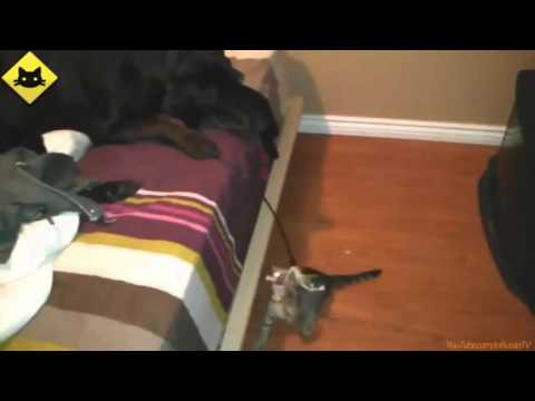 FUNNY VIDEOS_ Funny Cats - Funny Dogs - Dogs Love Kittens - Funny Animals - Funny Cat Videos
