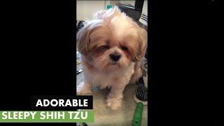 Shih Tzu Falls Asleep During Grooming Session