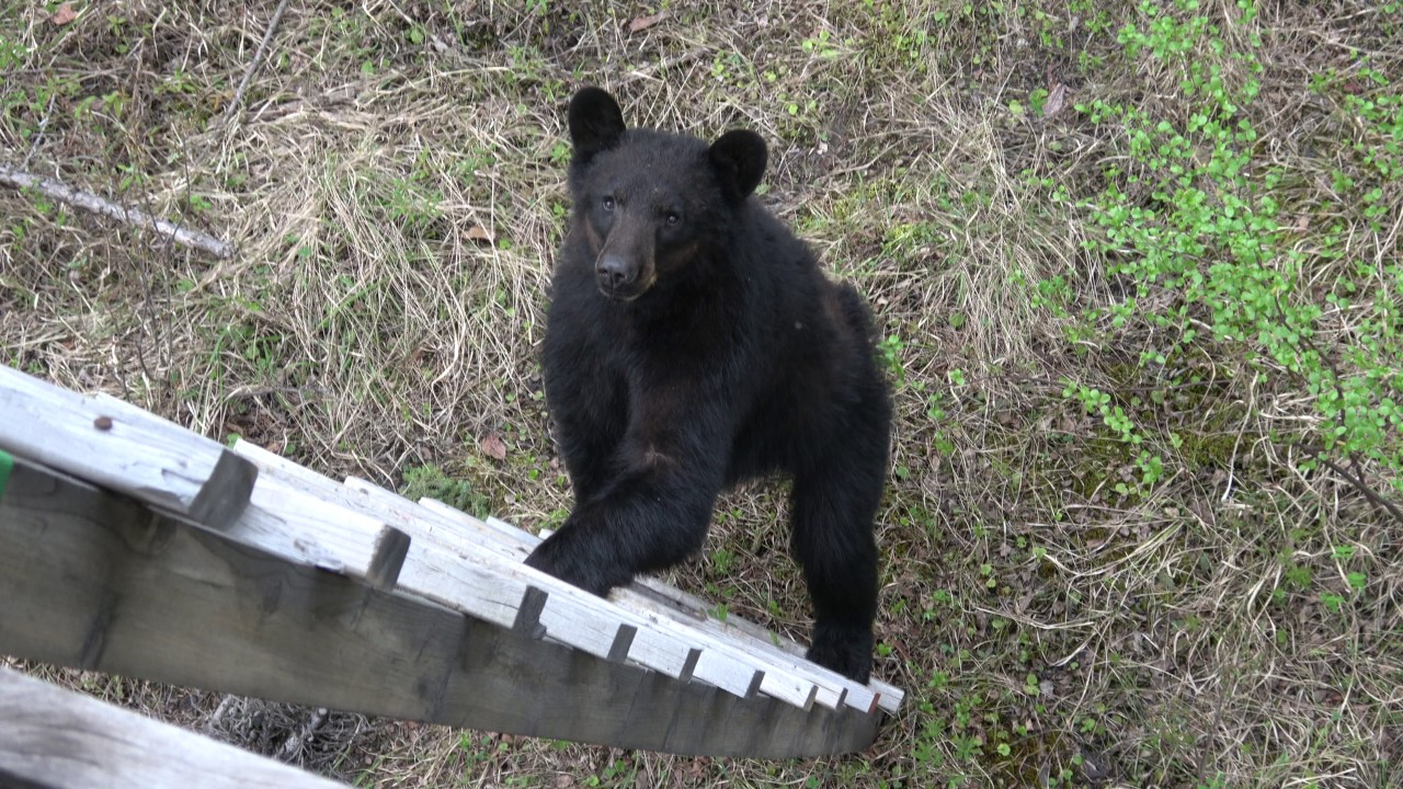 Bear Tries To Climb Into My Treestand