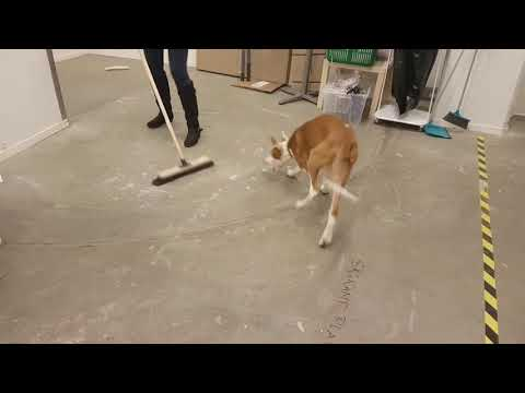IBIZAN HOUND Puppy plays with a broom