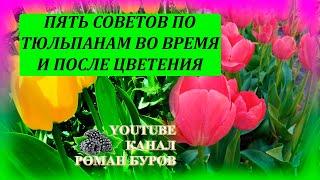ПЯТЬ советов по ТЮЛЬПАНАМ во время и после цветения. Как выращивать тюльпаны. Выращивание тюльпанов.