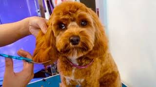 Gorgeous Cavoodle full groom  Asian fusion style