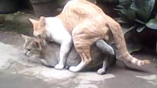 Cats Mating Hard And Fast Up Close - Funny Animals Mating Compilation - Funny Cats Mating