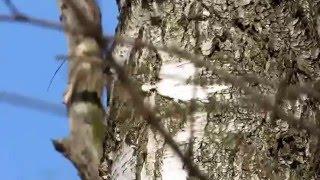 18.03.2015, Обыкновенная пищуха, песня часть-2