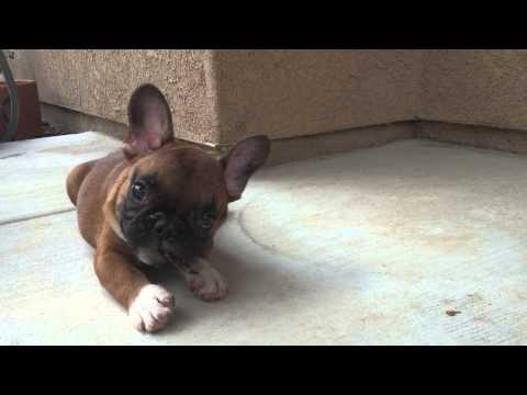 Incredible Fawn French Bulldog Puppies