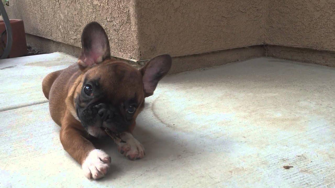 Incredible Fawn French Bulldog Puppies - YouTube