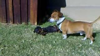 Jack Russel X Dachshund Eats Dobermann Pup