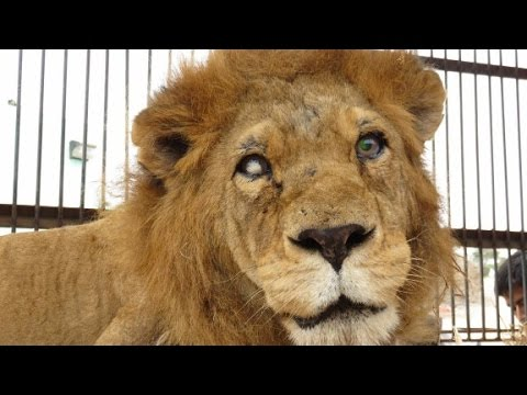 Rescued circus lions returning to Africa