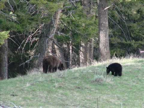Bear Encounter in Yellowstone
