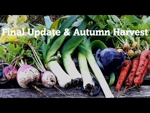 Allotment Diary : Final Update and Autumn Veg Harvest