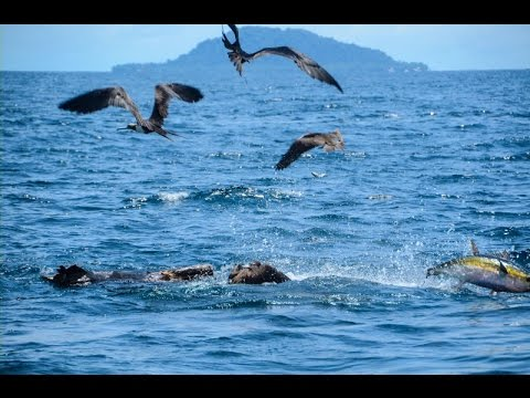 Panama Fishing - Take A Ride To Hannibal Bank On The TOP Cat! Tuna And Marlin Fishing Hightlights!