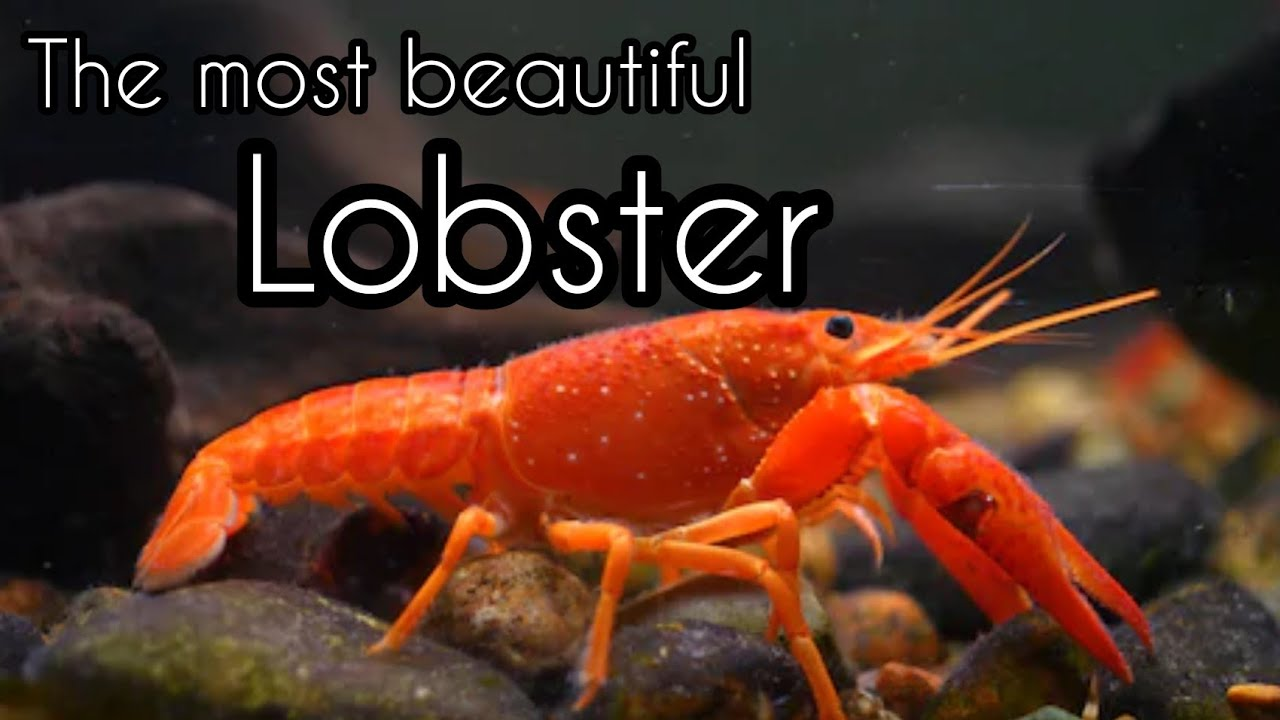 Most beautiful lobsters , incredible facts about lobsters