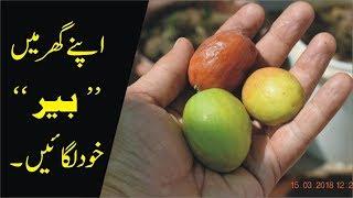 How to Grow ber at Home बेर कैसे उगाये Jujube Fruit
