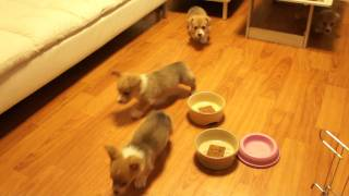 Corgi Baby's Morningcall