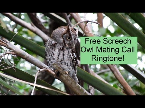 Eastern Screech Owl Mating Call Ringtone Download ! - YouTube