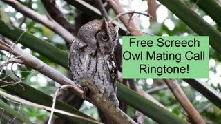 Eastern Screech Owl Mating Call Ringtone Download !