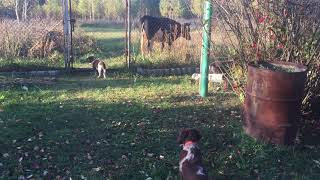 Вахтельхунд, щенки, немецкая перепелиная собака
