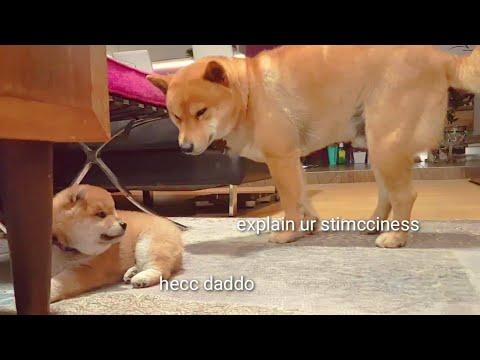 Shiro is dark & full of terrors - Shiba Inu puppies