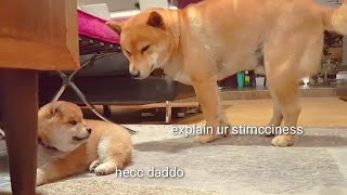 Shiro is dark & full of terrors - Shiba Inu puppies