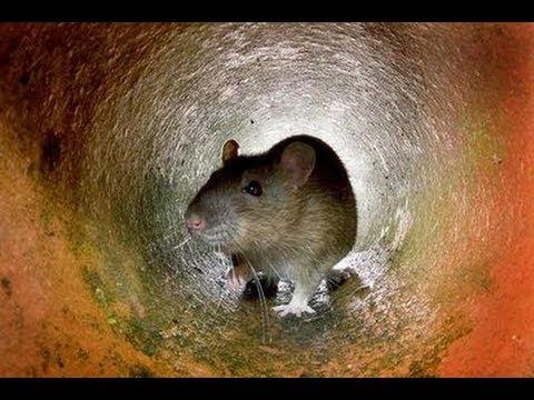 Apocalyptic! GIANT RAT PLAGUE: 25 000 000 Swarm IRAN CAPITAL -- TEHRAN... Mar. 7, 2013.