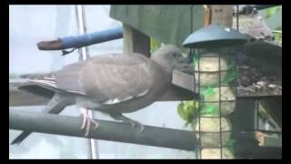 Juvenile Wood Pigeon Bird On The Bird Feeder Table  May 2014