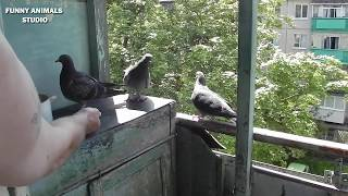 Голуби - Птенцы голубей - Драка отца и сына - Голубиная сага -  32 серия