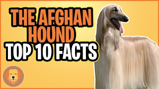AFGHAN HOUND  TOP 10 FACTS