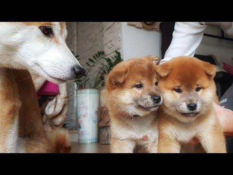 Restless Potat - My Life Is Potato. Ep 36 / Shiba Inu Puppies