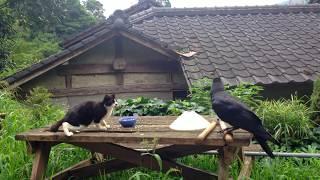 家の前で、うちのネコとカラスとの一コマ(笑)