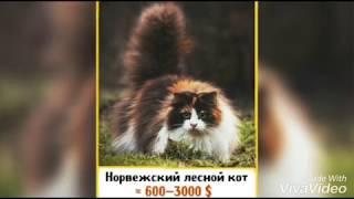 Самые дорогие кошки в мире|Буся Мяу