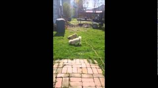 Pug Walks Poodle