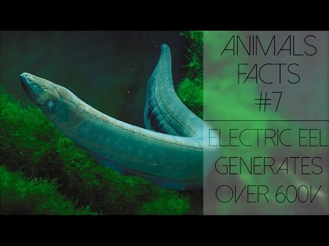 Animal Facts #7 - Electric eel can generate over 600 volts.
