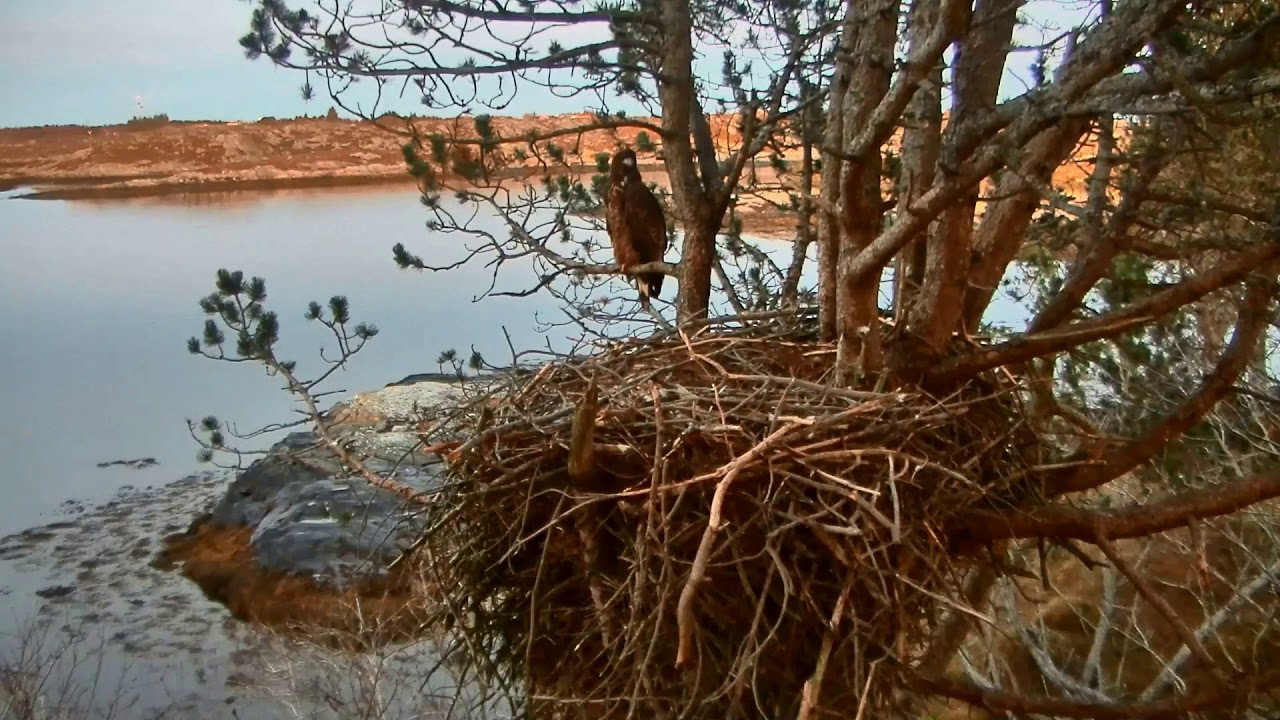smola-norway-eagle-cam-solo-s-full-crop-home-for-the-evening-1-17-18