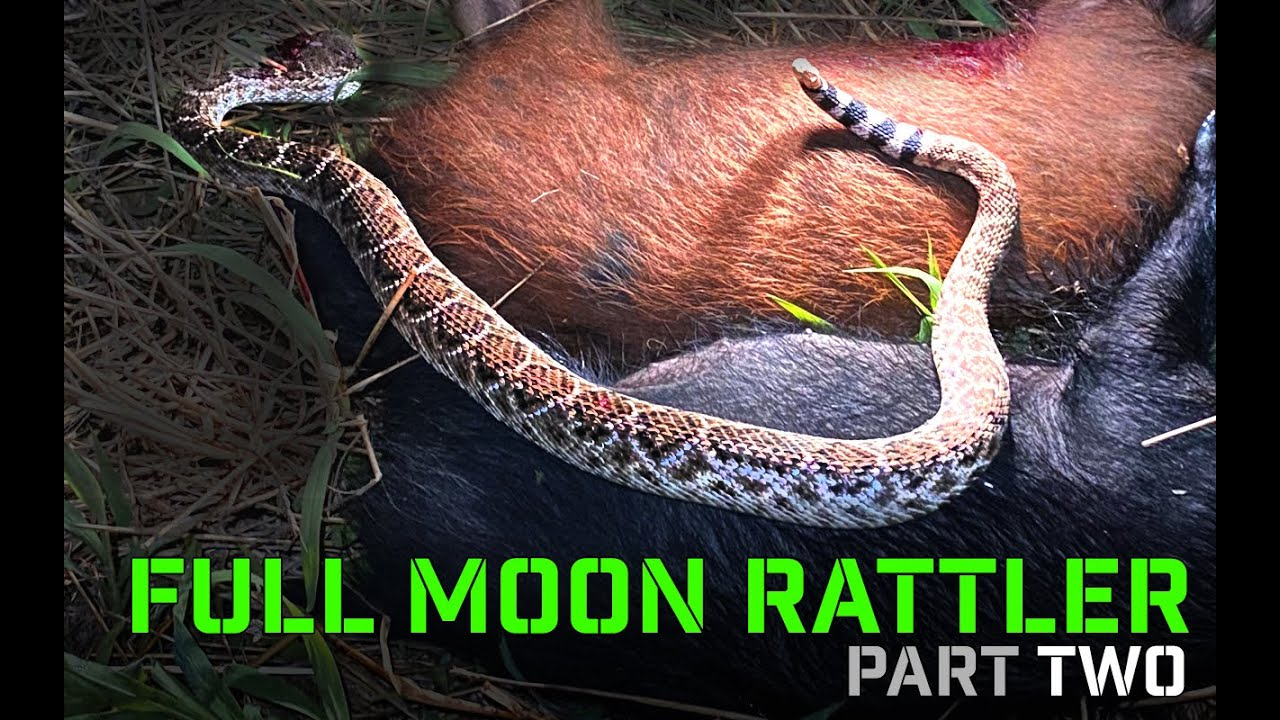 Full Moon Hog Hunting & Texas Rattle Snake | PART TWO