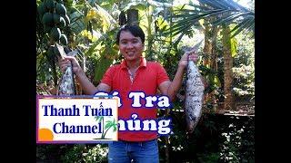 Bắt Cá Tra Khủng Lám Món Cá Tra TẢ PÍ LÙ | TTCN_38