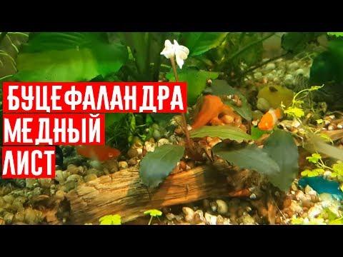 Буцефаландра  медный лист, Bucephalandra, аквариумные растения, 水生植物, plantas acuáticas