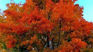 Футаж Осень. Красивая Осень. Красивые Осенние Пейзажи. Осенние Деревья, Осенние Листья. Осень Видео