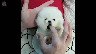TRY NOT TO LAUGH #625  CUTE POMERANIAN DOGS VIDEO COMPILATION